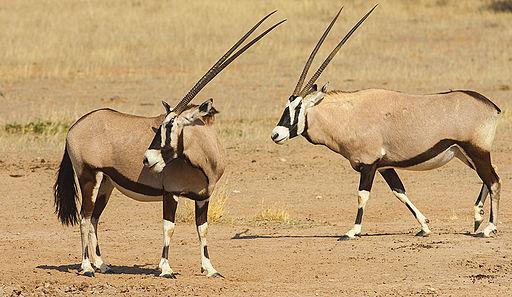 Twinned Gemsbok